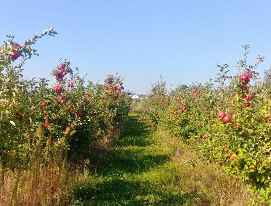 Jabłka BEZ CHEMII Dziadkowy Sad Tradycji Smak