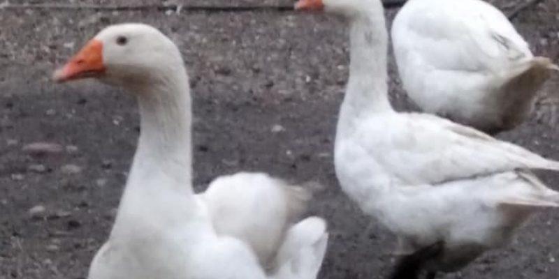 Gęsi i kaczki z hodowli ekologicznej