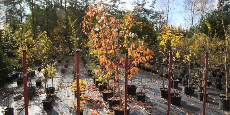 Stare odmiany drzew owocowych
