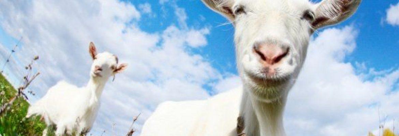Mleczko świeże kozie